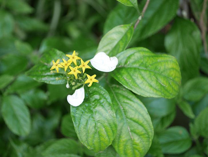 コンロンカが咲いた。2021年-023.jpg