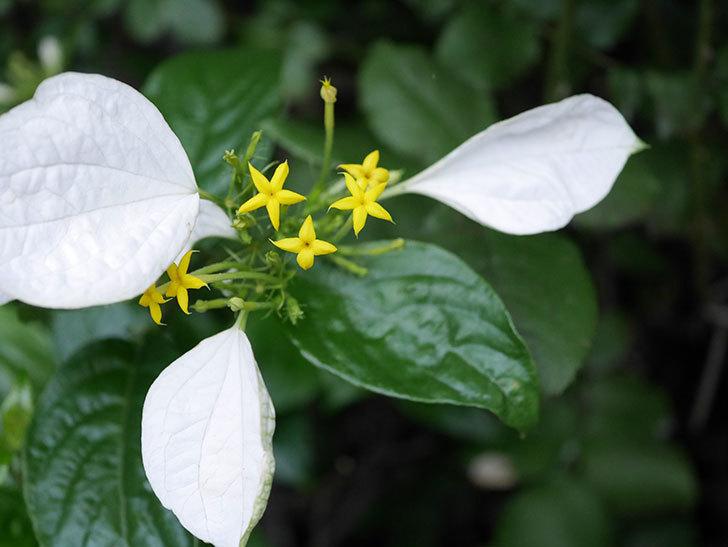 コンロンカが咲いた。2021年-028.jpg
