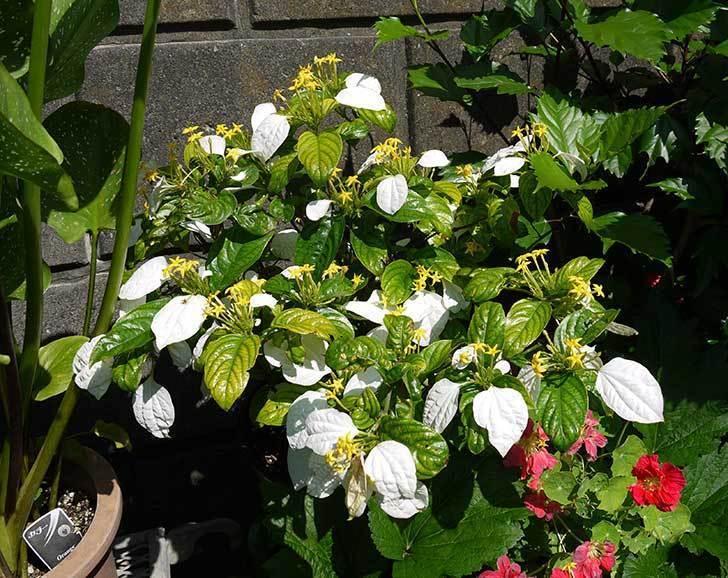 コンロンカが綺麗に咲いた。2015年-3.jpg