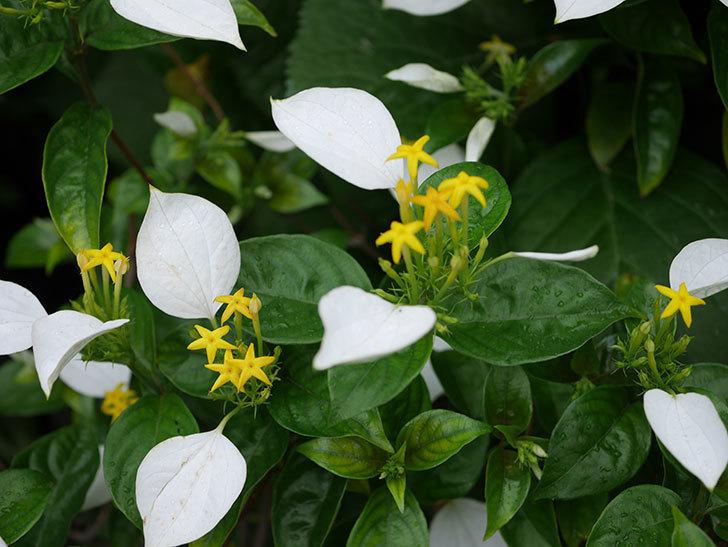 コンロンカの花が増えて来た。2019年-2.jpg
