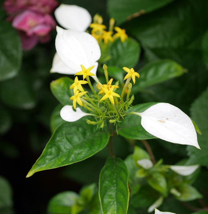 コンロンカの花が増えて来た。2019年-3.jpg