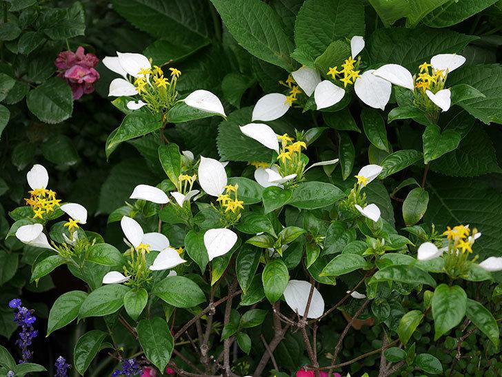 コンロンカの花が増えて来た。2019年-5.jpg
