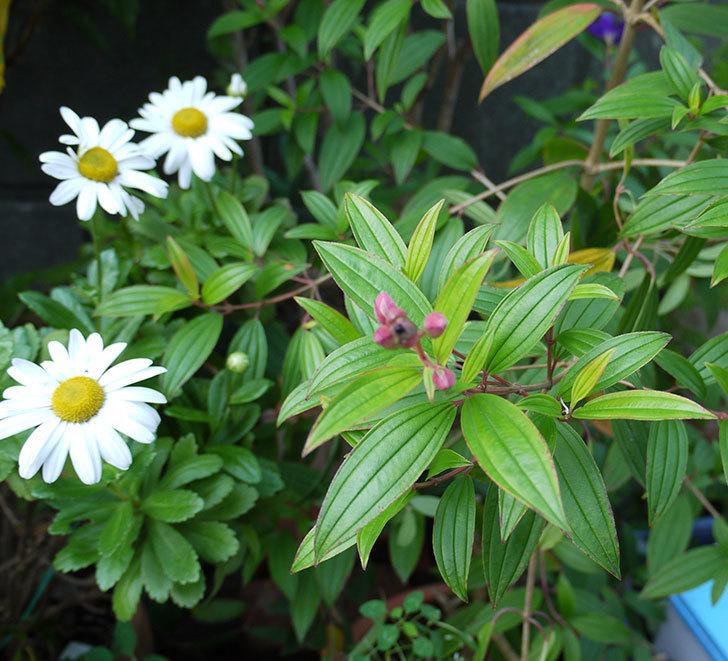 コートダジュール(ノボタン)の花が1個咲いた。2016年-4.jpg