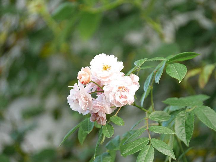 コーネリア(Cornelia)の花がまた咲いた。半ツルバラ。2020年-001.jpg