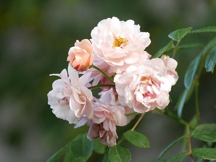 コーネリア(Cornelia)の花がまた咲いた。半ツルバラ。2020年-002.jpg
