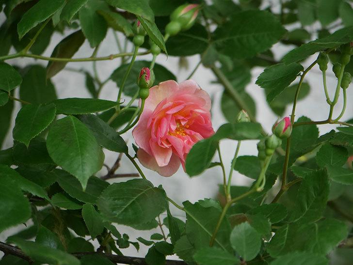 コーネリア(Cornelia)の花が咲いた。半ツルバラ。2021年-007.jpg