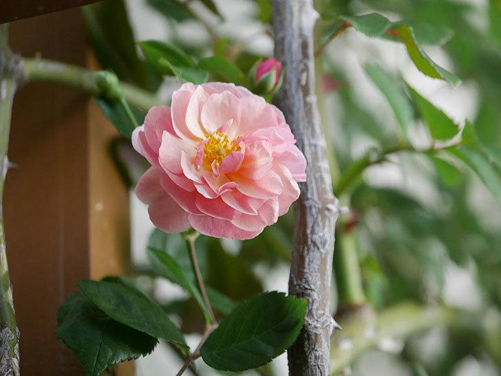 コーネリア(Cornelia)の花が増えてきた。半ツルバラ。2021年-001.jpg