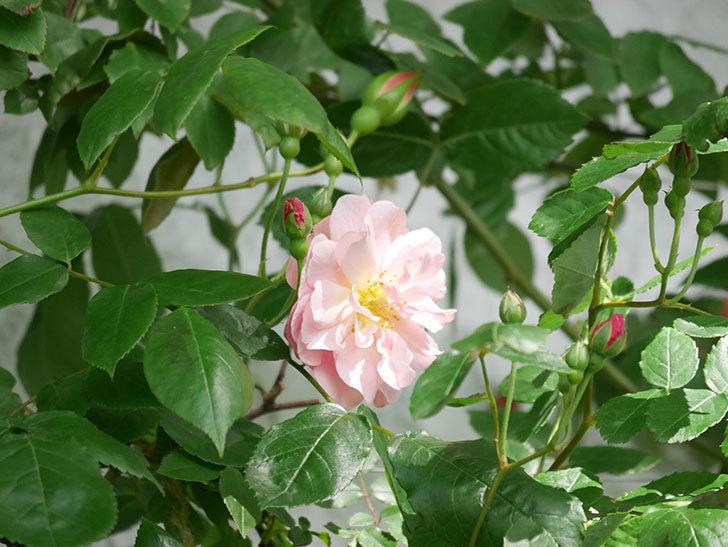 コーネリア(Cornelia)の花が増えてきた。半ツルバラ。2021年-004.jpg