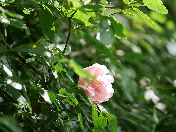 コーネリア(Cornelia)の花が増えてきた。半ツルバラ。2021年-006.jpg