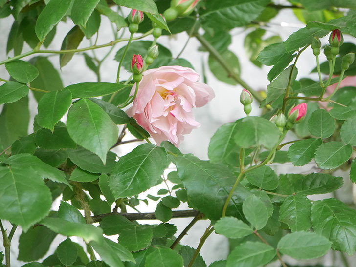 コーネリア(Cornelia)の花が増えてきた。半ツルバラ。2021年-007.jpg