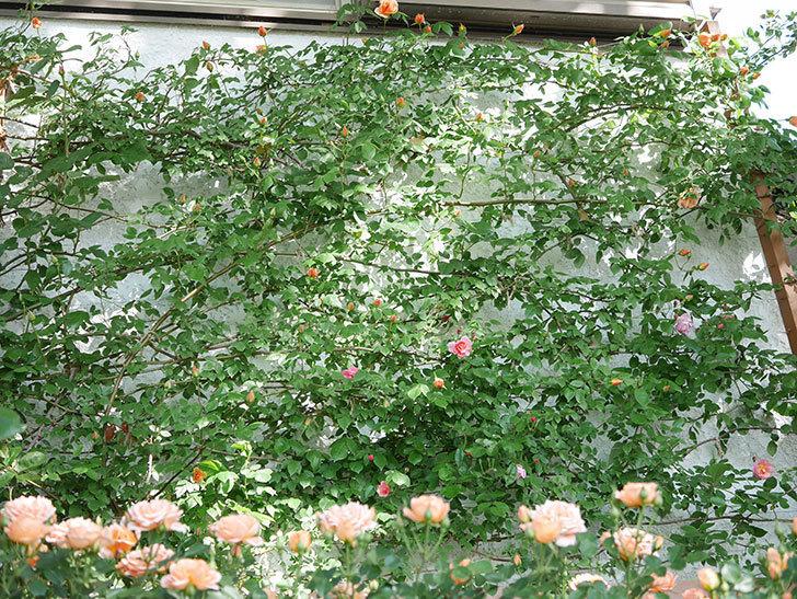コーネリア(Cornelia)の花が増えてきた。半ツルバラ。2021年-008.jpg