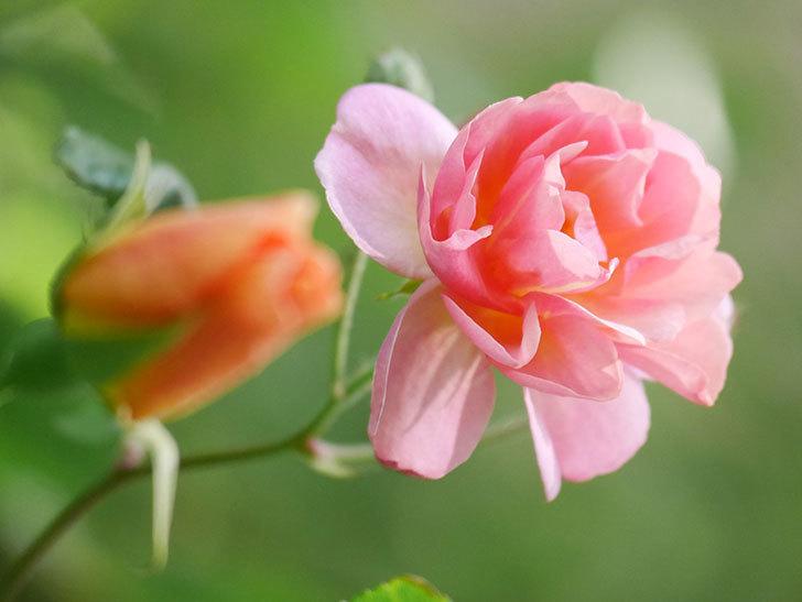 コーネリア(Cornelia)の花が増えてきた。半ツルバラ。2021年-010.jpg
