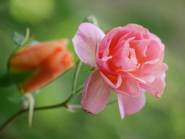 コーネリア(Cornelia)の花が増えてきた。半ツルバラ。2021年-011.jpg