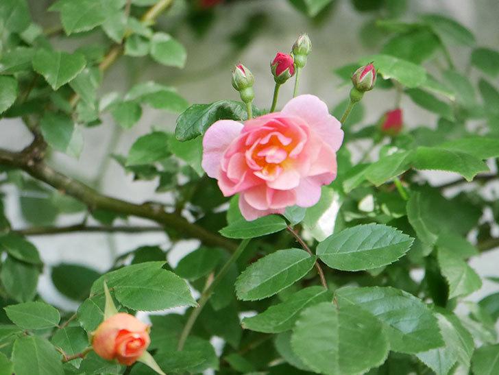 コーネリア(Cornelia)の花が増えてきた。半ツルバラ。2021年-012.jpg