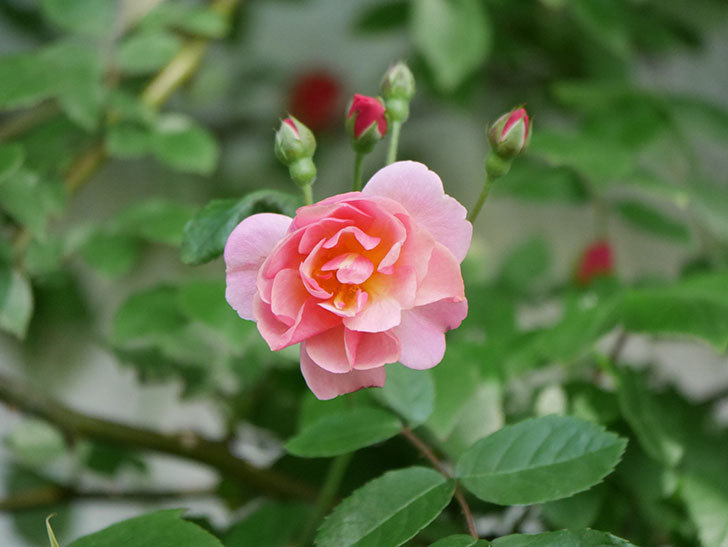 コーネリア(Cornelia)の花が増えてきた。半ツルバラ。2021年-013.jpg