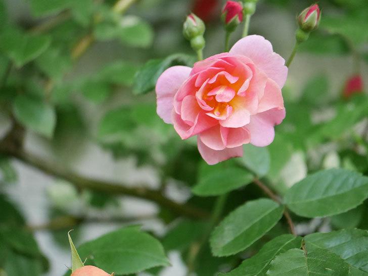 コーネリア(Cornelia)の花が増えてきた。半ツルバラ。2021年-014.jpg