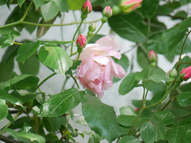 コーネリア(Cornelia)の花が増えてきた。半ツルバラ。2021年-016.jpg