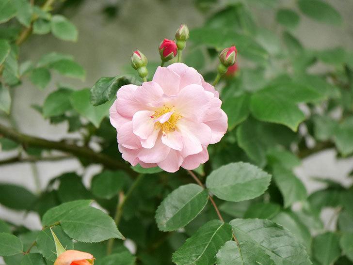 コーネリア(Cornelia)の花が増えてきた。半ツルバラ。2021年-017.jpg