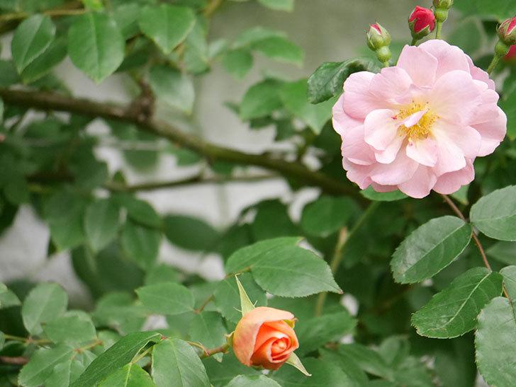 コーネリア(Cornelia)の花が増えてきた。半ツルバラ。2021年-018.jpg