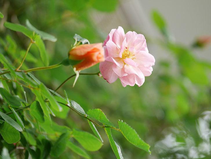 コーネリア(Cornelia)の花が増えてきた。半ツルバラ。2021年-020.jpg