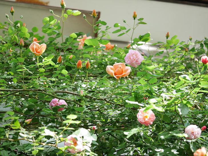 コーネリア(Cornelia)の花が増えてきた。半ツルバラ。2021年-023.jpg