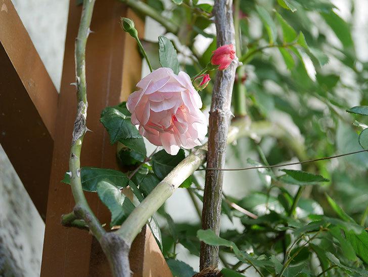 コーネリア(Cornelia)の花が増えてきた。半ツルバラ。2021年-024.jpg