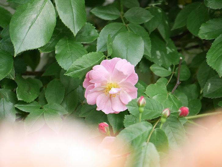 コーネリア(Cornelia)の花が増えてきた。半ツルバラ。2021年-026.jpg