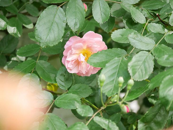 コーネリア(Cornelia)の花が増えてきた。半ツルバラ。2021年-027.jpg