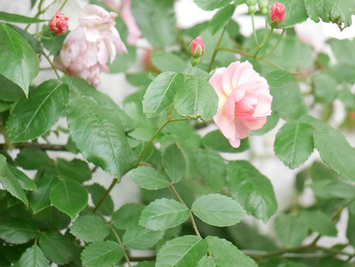 コーネリア(Cornelia)の花が増えてきた。半ツルバラ。2021年-028.jpg