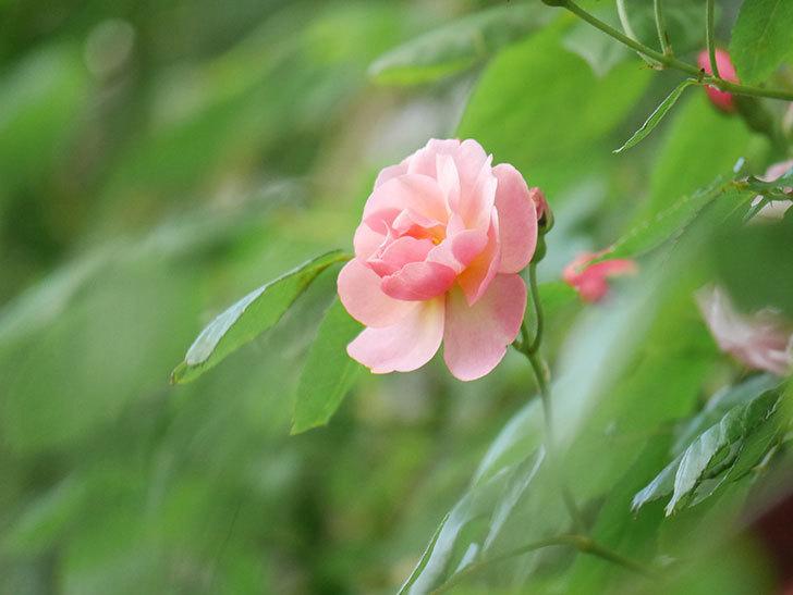 コーネリア(Cornelia)の花が増えてきた。半ツルバラ。2021年-029.jpg