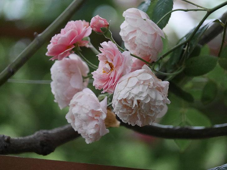 コーネリア(Cornelia)の花が房で咲いた。半ツルバラ。2020年-002.jpg