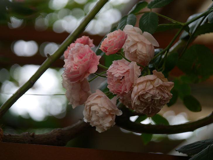 コーネリア(Cornelia)の花が房で咲いた。半ツルバラ。2020年-003.jpg