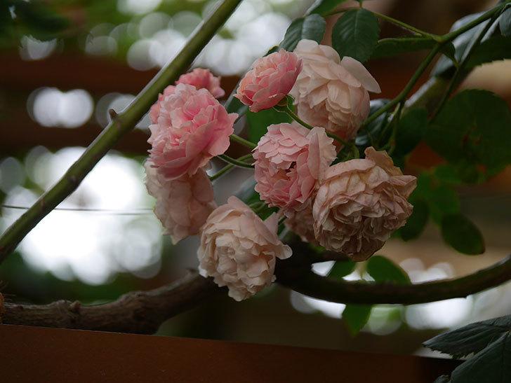 コーネリア(Cornelia)の花が房で咲いた。半ツルバラ。2020年-004.jpg
