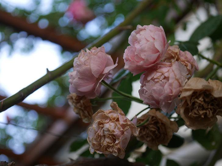 コーネリア(Cornelia)の花が房で咲いた。半ツルバラ。2020年-005.jpg