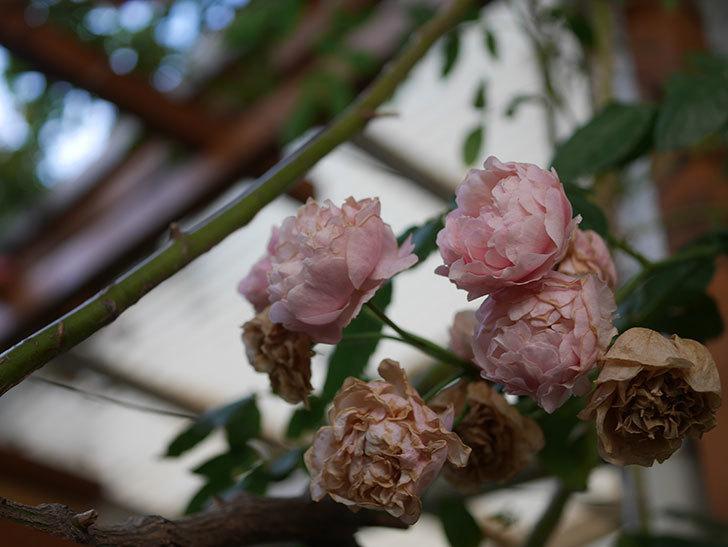 コーネリア(Cornelia)の花が房で咲いた。半ツルバラ。2020年-006.jpg