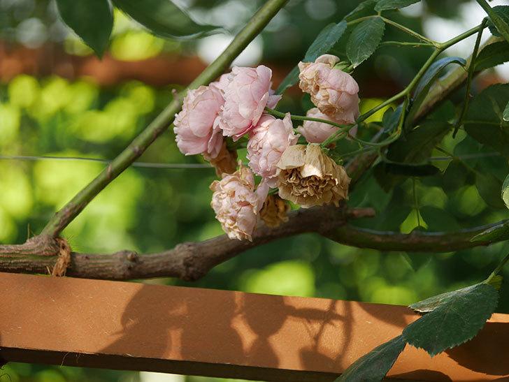 コーネリア(Cornelia)の花が房で咲いた。半ツルバラ。2020年-007.jpg