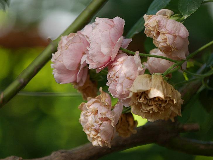 コーネリア(Cornelia)の花が房で咲いた。半ツルバラ。2020年-008.jpg