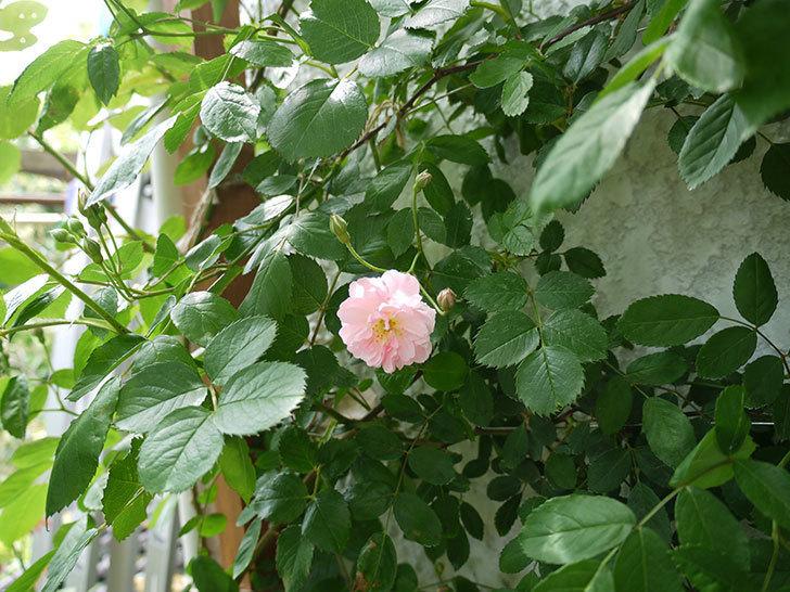コーネリア(ツルバラ)が咲いた。2017年-10.jpg