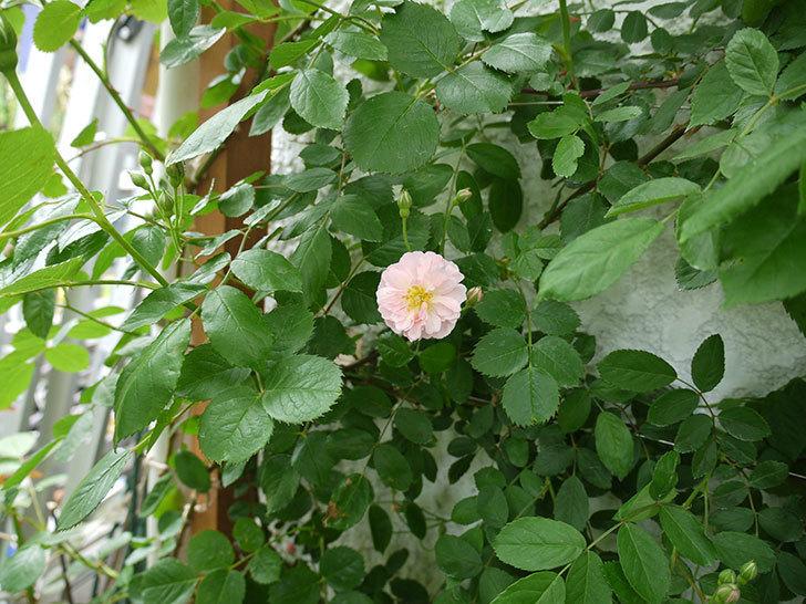 コーネリア(ツルバラ)が咲いた。2017年-2.jpg