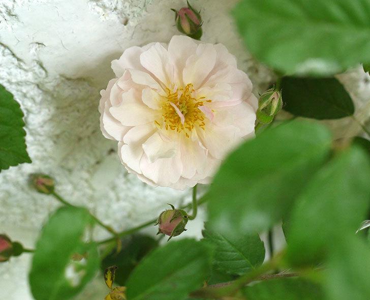 コーネリア(ツルバラ)が咲いた。2017年-4.jpg