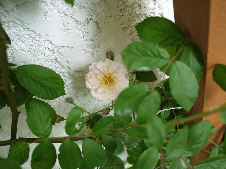 コーネリア(ツルバラ)が咲いた。2017年-5.jpg