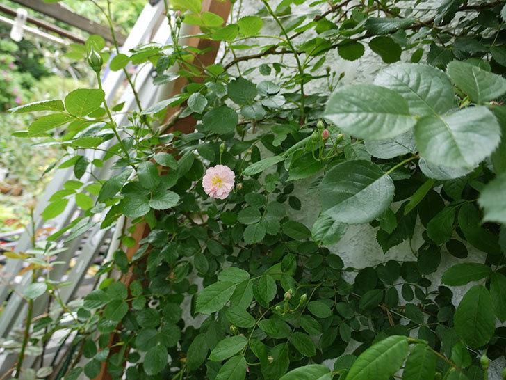 コーネリア(ツルバラ)が咲いた。2017年-6.jpg