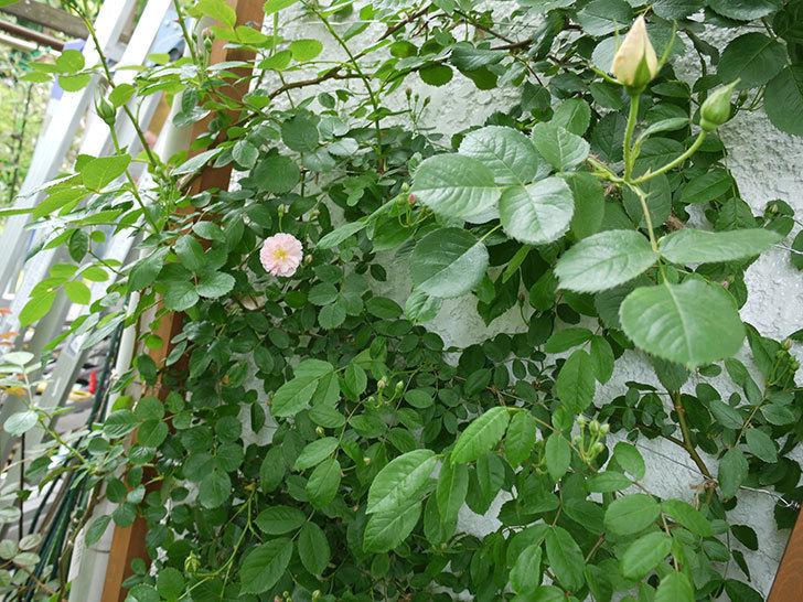 コーネリア(ツルバラ)が咲いた。2017年-7.jpg