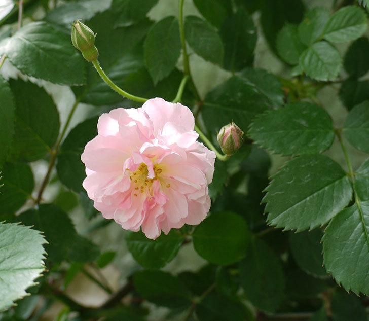 コーネリア(ツルバラ)が咲いた。2017年-9.jpg