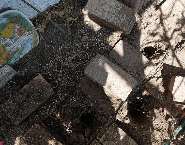 コーネリア(ツルバラ)に寒肥を施した。2019年-1.jpg
