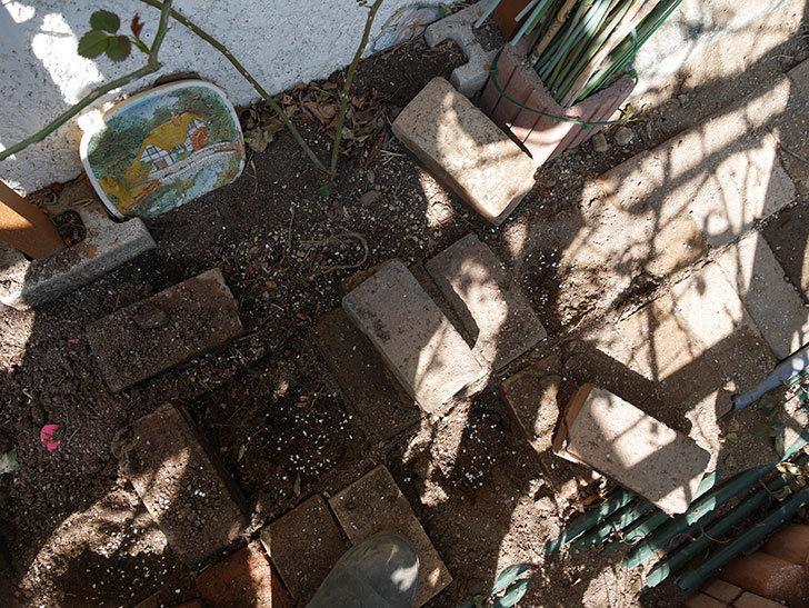 コーネリア(ツルバラ)に寒肥を施した。2019年-3.jpg