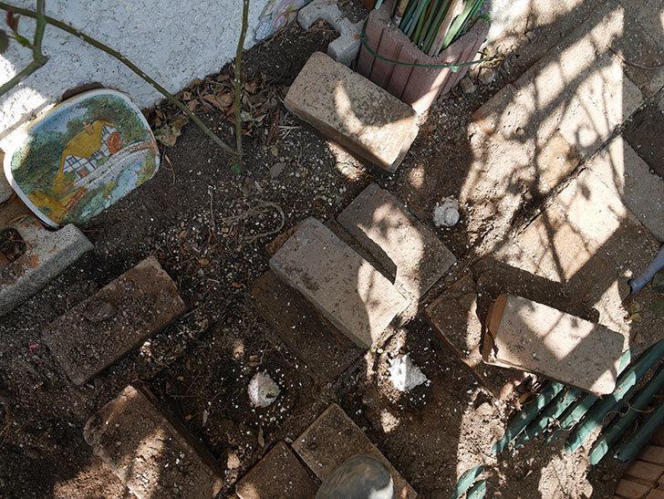 コーネリア(ツルバラ)に寒肥を施した。2019年-5.jpg
