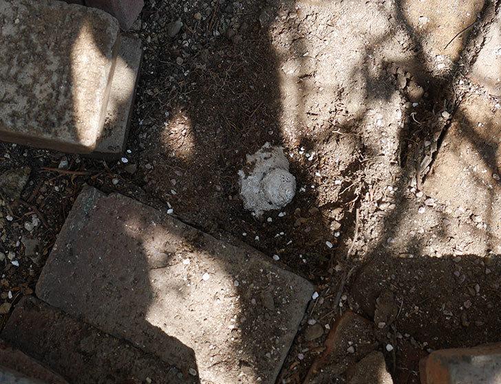 コーネリア(ツルバラ)に寒肥を施した。2019年-6.jpg