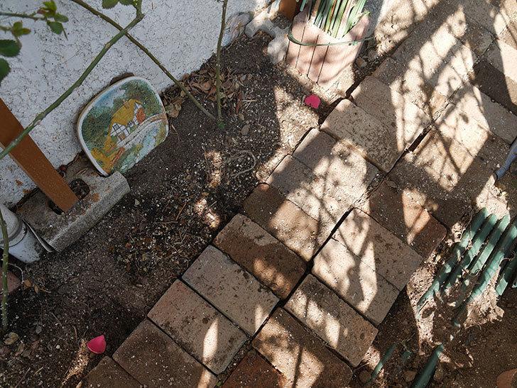 コーネリア(ツルバラ)に寒肥を施した。2019年-8.jpg