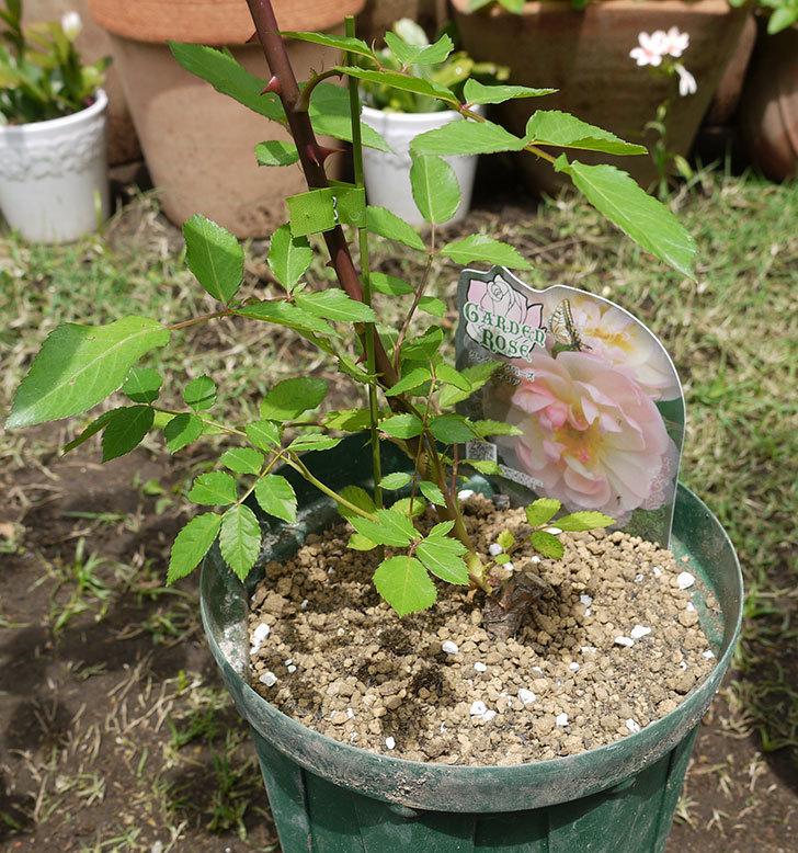 コーネリア(ツルバラ)の新苗を6号ロングスリット鉢に植えた。2016年-1.jpg